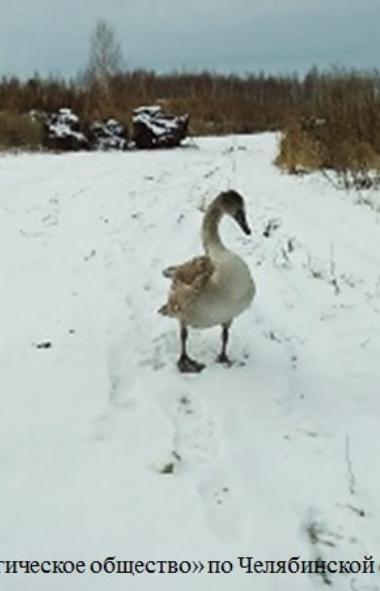 В министерство экологии Челябинской области поступают звонки об обнаруженных лебедях. Пернатого к