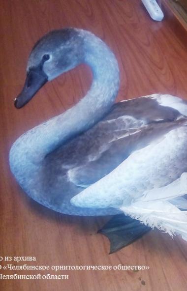 В Челябинской области спасли молодого лебедя-шипуна, не сумевшего вместе со своими пернатыми соро