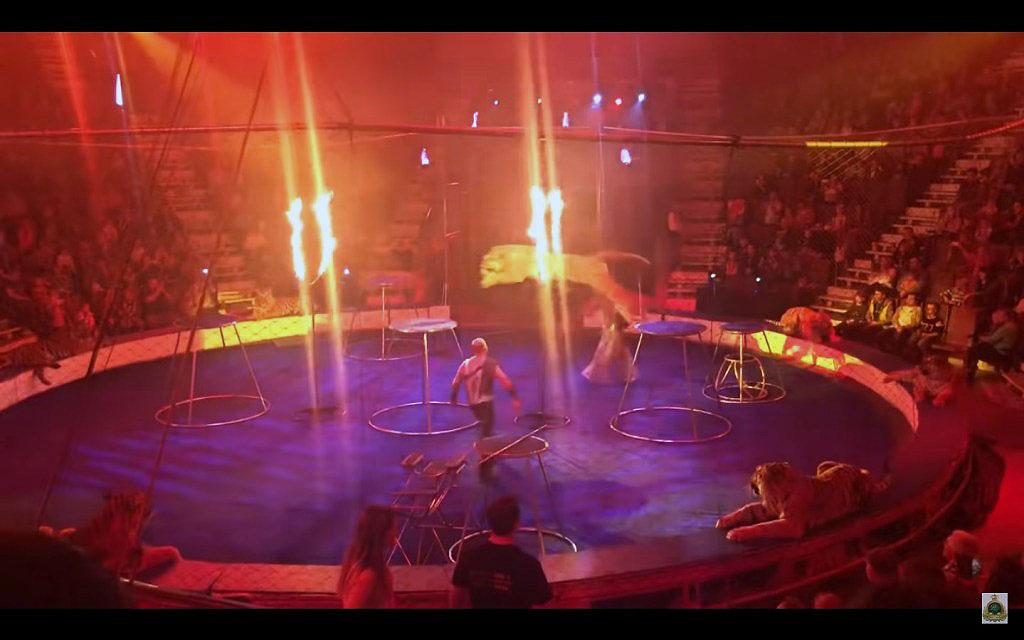 В цирке Магнитогорска (Челябинская область) тигр упал в обморок во время выступления. Животное от