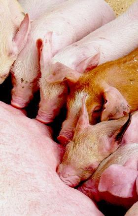 В Челябинской области прошли учения по ликвидации условных очагов африканской чумы свиней (АЧС) и