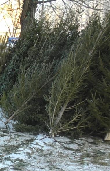 В Катав-Ивановске (Челябинская область) возбуждено уголовное дело по фактам вырубки 266 пихт. Уще