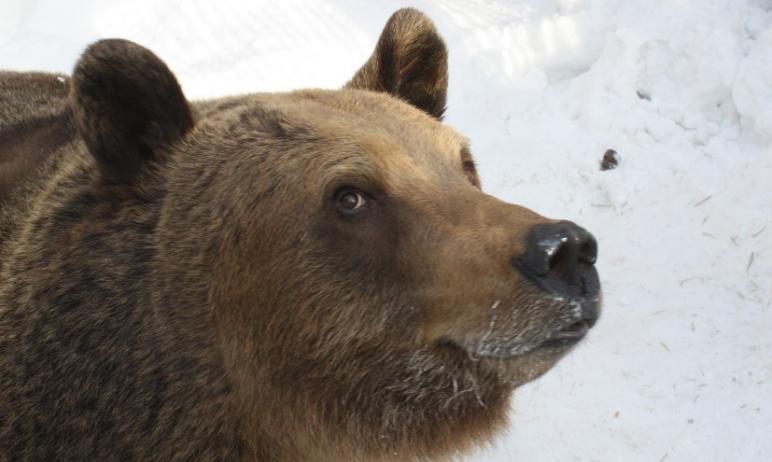В челябинском зоопарке начали выходить из зимней спячки медведи, первым от долгого, глубокого сна