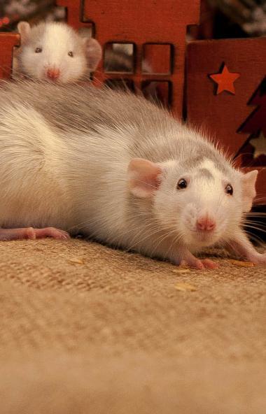 Челябинский зоопарк как следует подготовился к году Крысы (белой металлической) - в преддверии бо