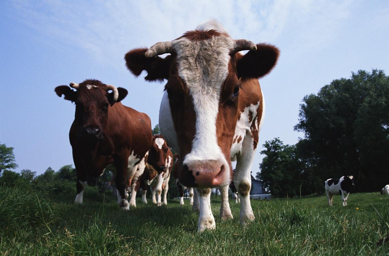 Блютанг - вирусная инфекция домашних и диких жвачных животных, преимущественно овец, характеризу