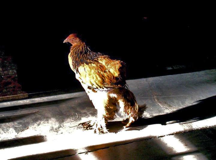 Управлением Россельхознадзора по Челябинской области проверены 3 птицефабрики – «Равис» - птицефа