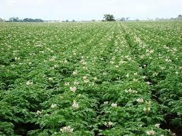 Новые перспективные сорта картофеля выращивают на полях Аргаяшского аграрного техникума (Челябинс