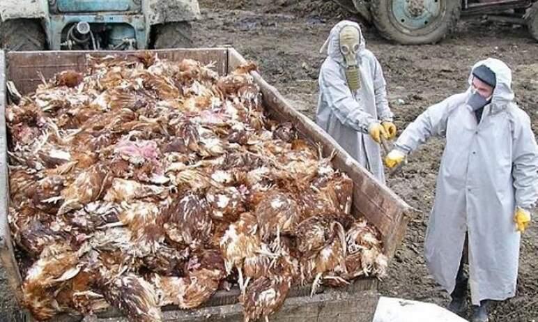 Челябинские власти предупредили горожан о риске заражения птичьим гриппом – в столице Южного Урал