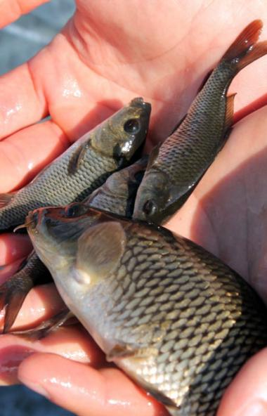 Более миллиона мальков сазана обживают Троицкое водохранилище. Зарыбление водоема произвели энерг