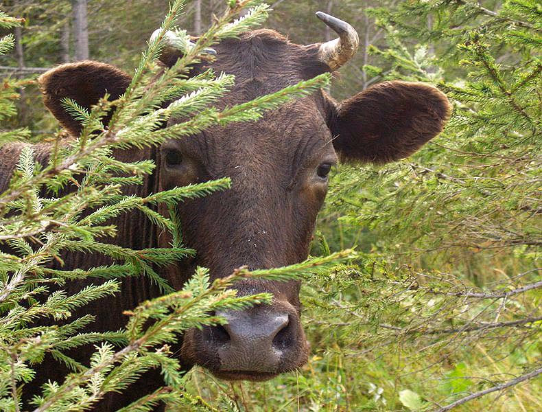 Буренка отбилась от стада и забрела в поисках корма и свежих впечатлений по железобетонным лестни