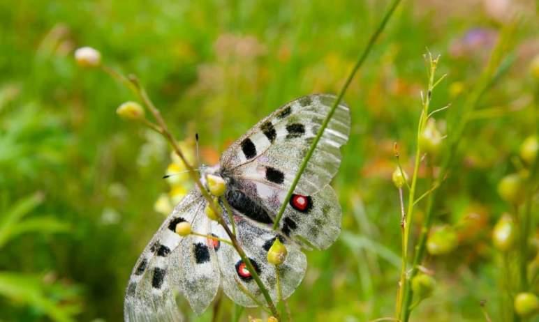 В Челябинской области на одном из лугов национального парка «Зигальга» увидели бабочку, которая з