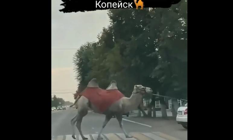В Копейске (Челябинская область) по одной из улиц прошелся верблюд. Животное, которое вел за собо