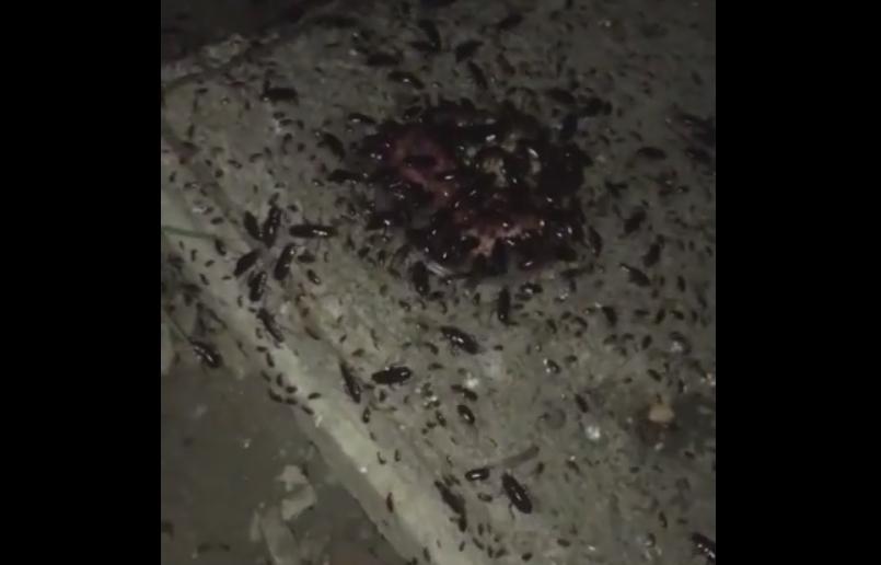 Жители Миасса опасаются нашествия канализационных тараканов. В начале 2000 годов Челябинск