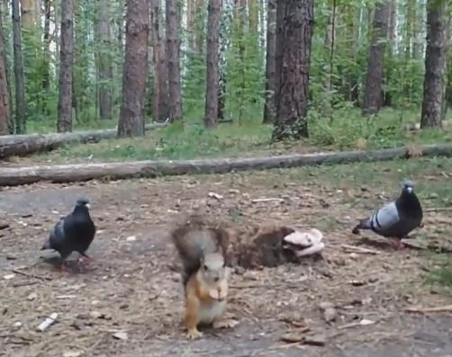 В Челябинске белка дала отпор голубям. Птицы хотели отобрать у нее еду. В сети набирает по
