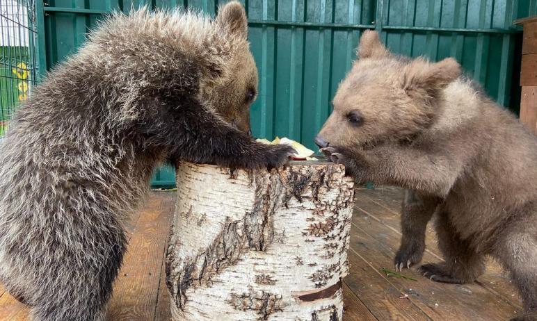 Двое медвежат, Варвара и Баграт, подопечные приюта «Спаси меня» известного ветеринара Карена Далл