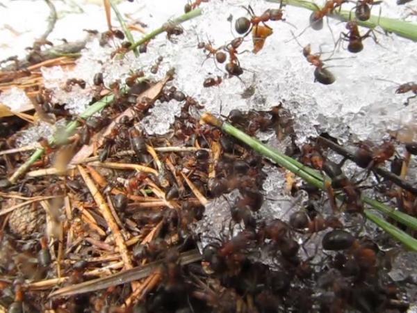 В Челябинской области в муравейниках на территории национального парка «Таганай» проснулись их тр