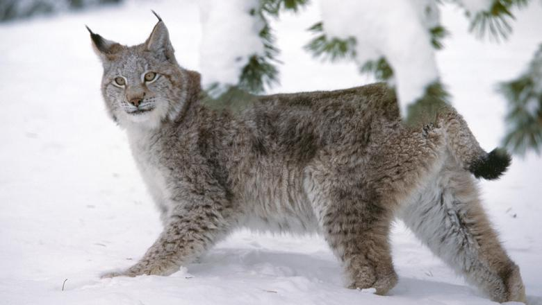 В фотоловушку впервые попалось одно из самых осторожных животных Урала и национального парка «Зюр