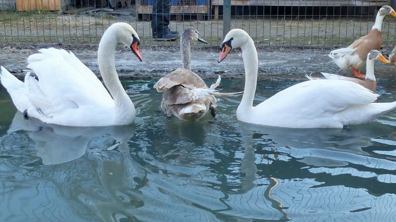 В Челябинске завтра, 27 сентября, фонд «Спаси меня» выпустит во взрослую жизнь двух молодых лебед