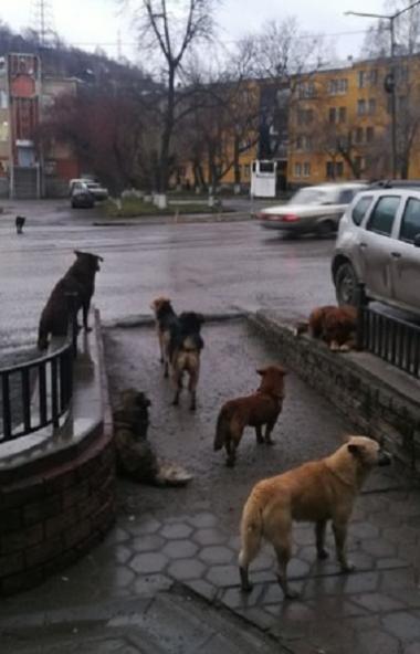 Жители Златоуста (Челябинская область) боятся выходить из дома. Всему виной стали бродячие собаки