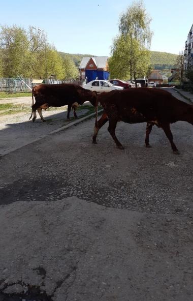 Администрация Аши (Челябинская область) приняла меры по борьбе с бесконтрольно разгуливающей дома