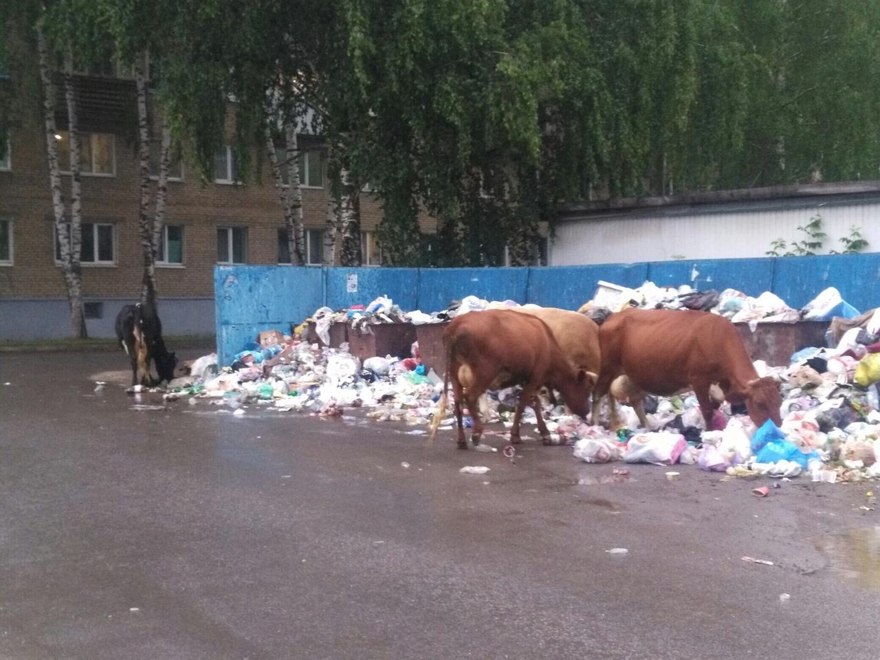 В городе Аше Челябинской области коровы пасутся на контейнерных площадках – к такому неожиданному