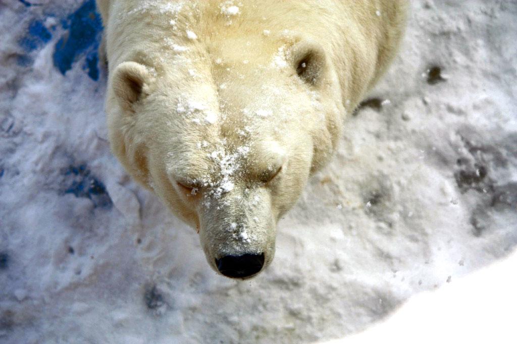 Челябинский зоопарк сегодня, 27 февраля, будет отмечать День полярного медведя. Праздничная прогр
