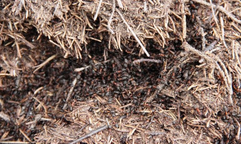 В национальном парке «Таганай» несмотря на внезапные зимние капризы проснулись муравьи. Это значи