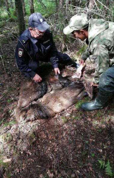 В национальном парке «Зигальга» (Челябинская область) браконьеры убили лосиху с трехмесячным лосе