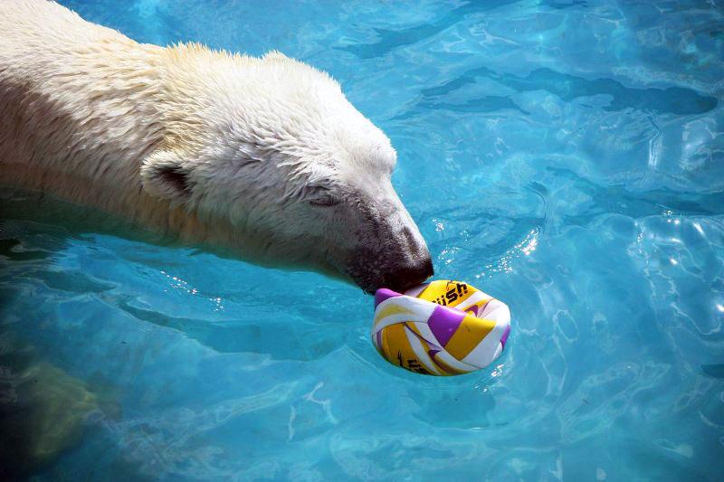 Белые медведи из челябинского зоопарка открыли купальный сезон. Сейнаш-Алтын и Айриша не только п