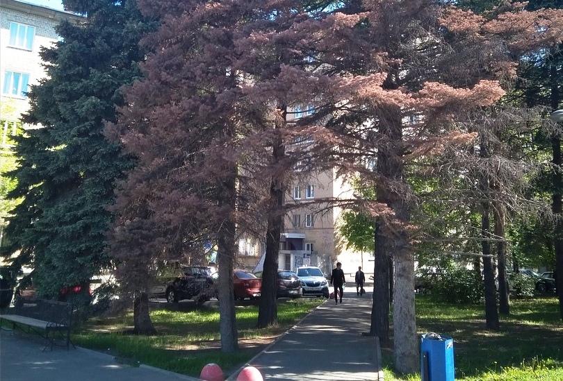 Погибающие деревья в Советском и Центральном районах Челябинска пообещали заменить в течение двух