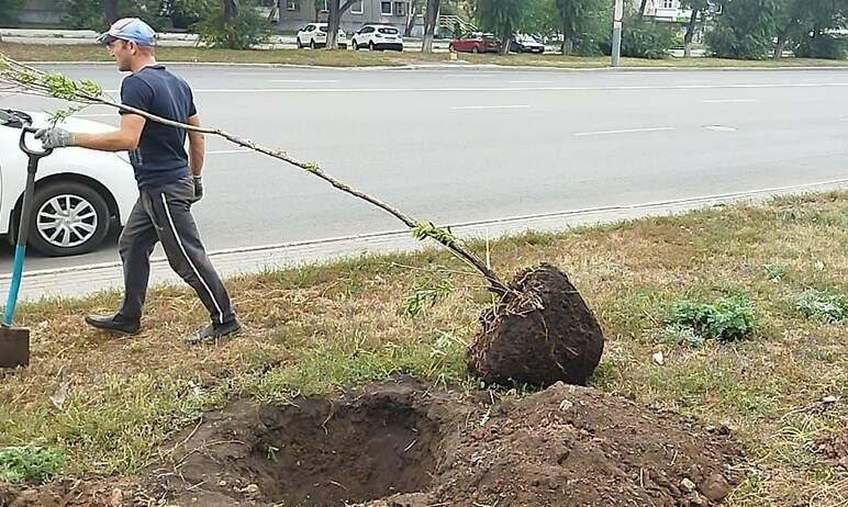 В Челябинске сегодня, третьего сентября, на улице Комарова высаживают шаровидные ивы.