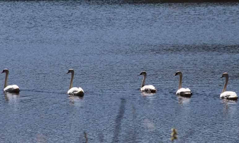 В Челябинской области на Большое Тесьмыинское водохранилище вновь прилетели лебеди-шипуны. В этом