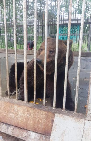 Губернатор Челябинской области Алексей Текслер поручил разобраться с судьбой медведя по кличке Ма