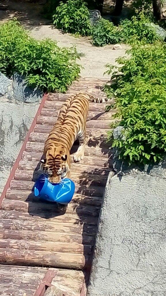 На сегодняшний день в челябинском зоопарке числится три амурских тигра – Самур, Матис и Лаффи. Но