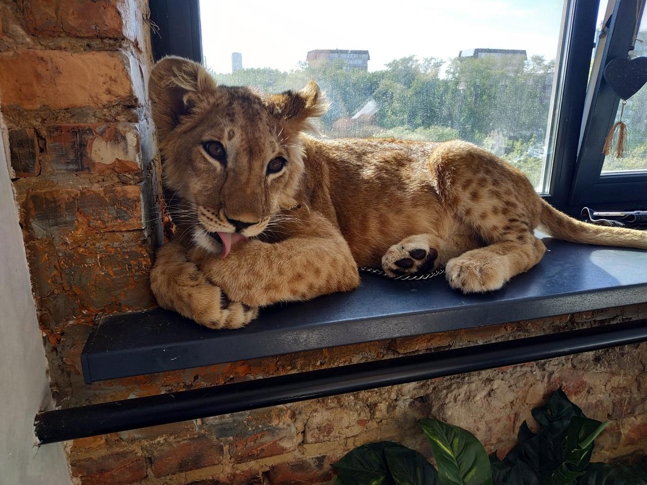 Челябинские зоозащитники пришли на помощь львенку, которого хозяйка, жительница Твери, привезла в