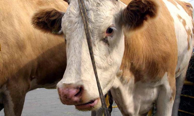 В 2020 году промышленное производство сырого молока в Челябинской области достигнет 197 тысяч тон