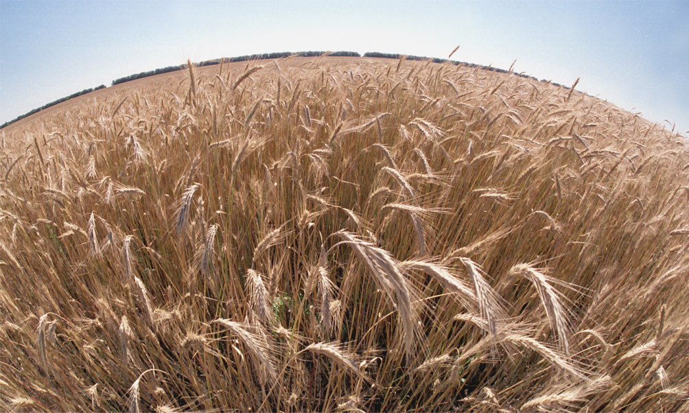 Более трехсот тонн пшеницы мошенники получили без оплаты, пообещав рассчитаться позднее. П