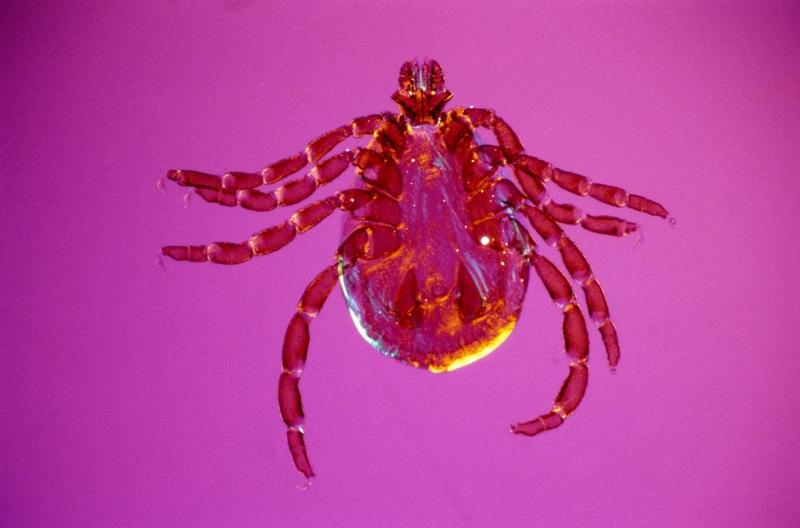 В Челябинской области - высокая численность иксодовых клещей в природном очаге, высокой степень и