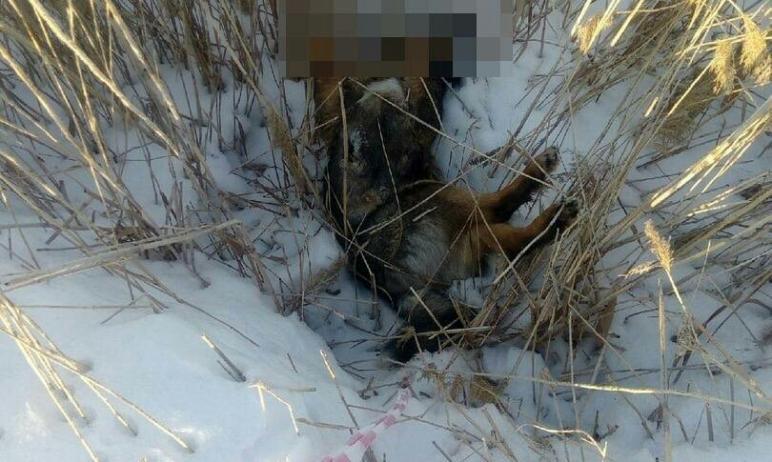 В Копейске (Челябинская область) неизвестный расстрелял собаку прямо на территории школы. Мертвог