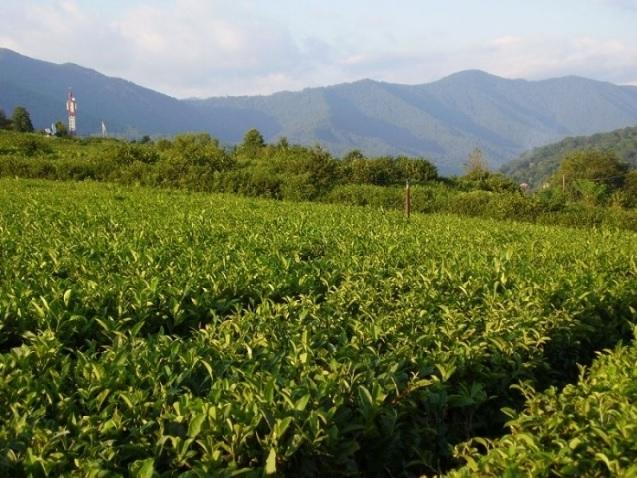 В Краснодарском крае буквально вчера закончилась уборка чайного листа. По итогам уборки