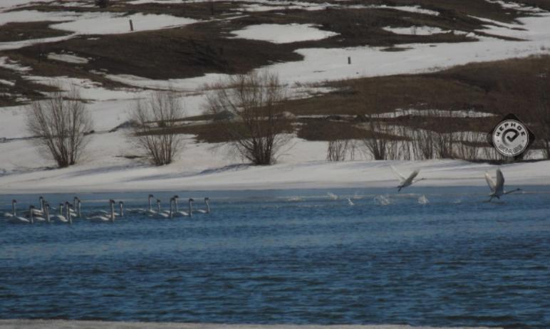 Жители Магнитогорска (Челябинская область) заметили на одном из озер стаю лебедей. Фотографии с п