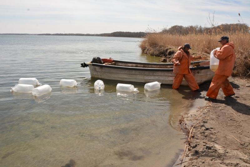 В озеро Сугояк Красноармейского района (Челябинская область) выпустили миллион личинок пеляди. За