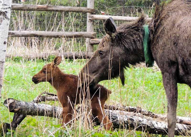 Лосиха Василина вернулась в родной дом «Сохатка» в Национальном парке «Зюраткуль» (Челябинская об