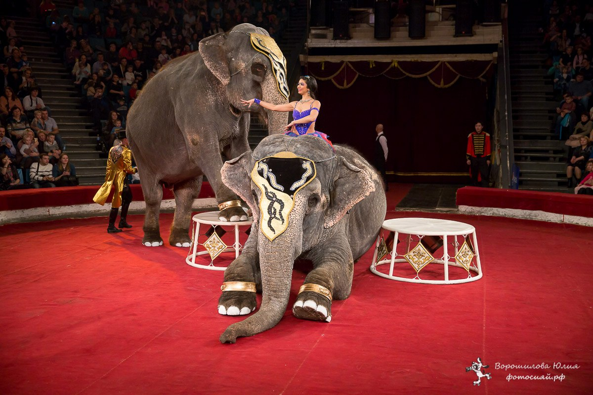 Большой Варшавский цирк впервые привез в Челябинск «Шоу слонов великанов». В челябинском цирке се