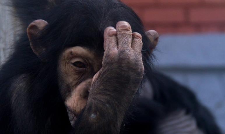 Челябинских обезьян снова отправили на карантин – в третий раз с начала прошлого года.