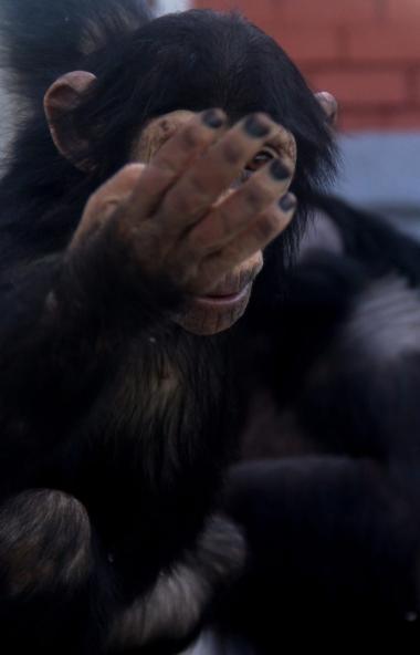 Чтобы избежать эпидемии гриппа и ОРВИ,обезьян в зоопарке Челябинска закрыли на карантин. Ма