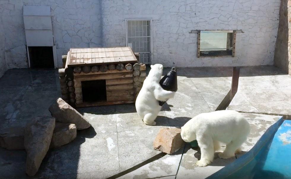 В зоопарке Челябинска пару белых медведей Алтына и Айришу впору поздравить с пятнадцатилетием сов