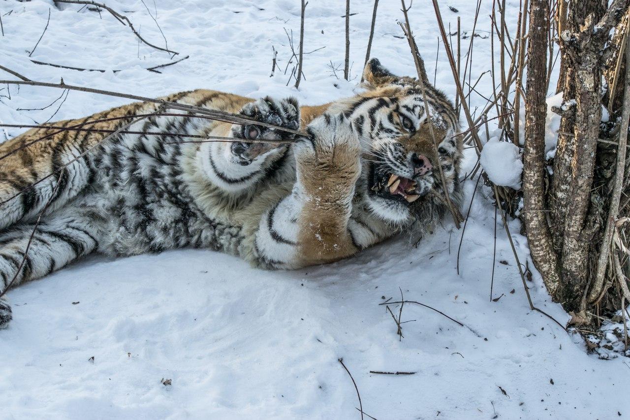В Челябинске дан старт всероссийской акции «Тигриная тропа» в честь десятилетнего юбилея тигра Жо
