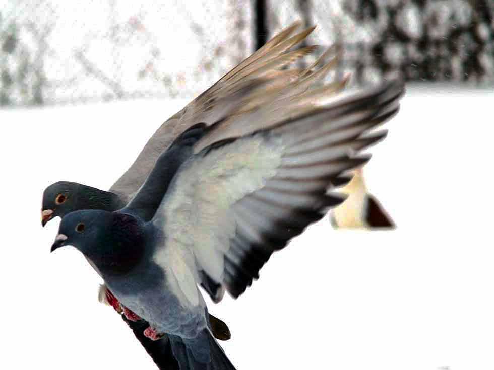 В Магнитогорске (Челябинская область) установлены ограничительные мероприятия по орнитозу птиц, г