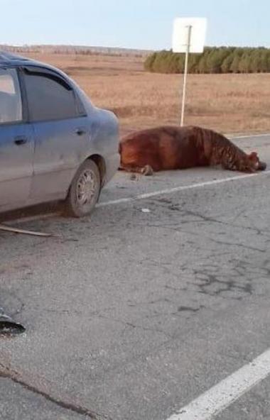 В Челябинской области за ночь произошло три аварии с животными. В одном из ДТП серьезные травмы п