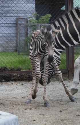Счастливое и долгожданное событие произошло в семье зебр, живущих в Челябинском зоопарке. В пять